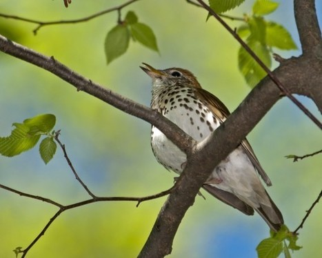 Smithsonian Scientists Solve Puzzle of Dramatic Wood Thrush Decline | Rainforest EXPLORER:  News & Notes | Scoop.it