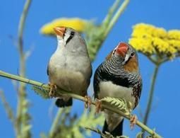Humans and birds share the same singing genes | Les sons de la nature | Scoop.it