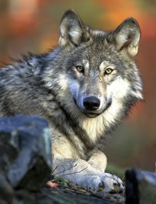 Evidence Found of New Wolf in California's Siskiyou County | GarryRogers NatCon News | Scoop.it