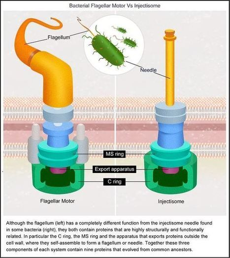 The bacterial flagellar motor: brilliant evolution or intelligent design? | Media Cultures: Microbiology in the news | Scoop.it