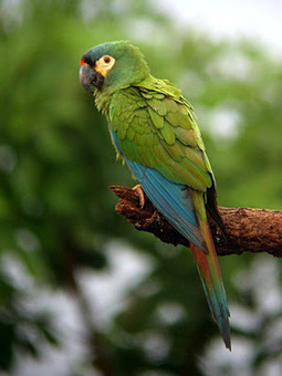 Birds World: Blue Winged Macaw | Parrots | Scoop.it