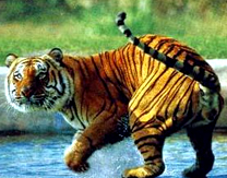 Corbett Tiger Reserve Uttaranchal,Corbett Tiger Reserve | Tour Advisors India | Scoop.it