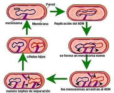 Bacterias   Bacterias Beneficas   Scoop.it
