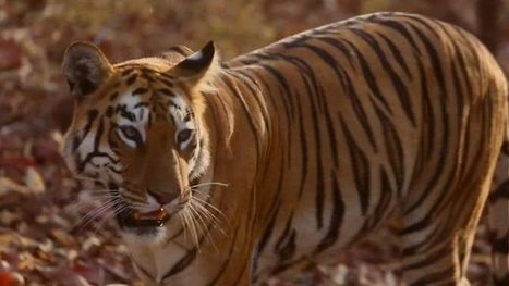 India | Making a living from tiger tourism | Tourism : Collaterals | Scoop.it