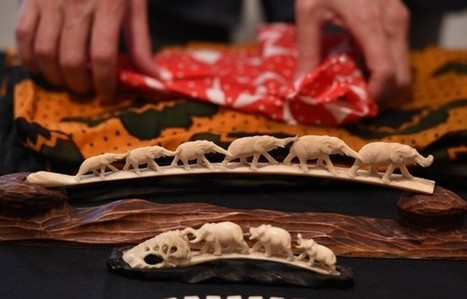 Illegal ivory price drops dramatically in China | Wildlife Trafficking: Who Does it? Allows it? | Scoop.it