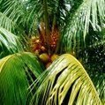 South Pacific coconut gene bank under threat | Scenario 25 club | Scoop.it