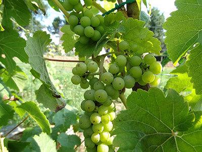 Le vin français devra s'adapter au changement climatique après la pire récolte depuis au moins 40 ans - notre-planete.info | Vin & Gastronomie | Scoop.it