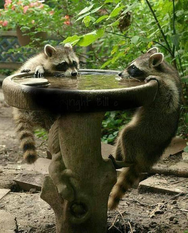 How to keep the raccoons away   Pond Talk   Scoop.it