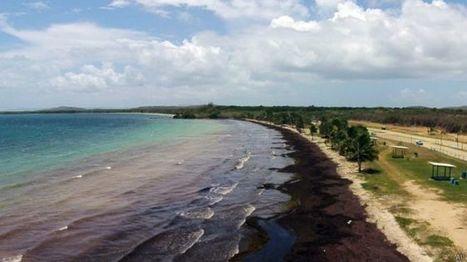 ¿De dónde vienen las algas que están invadiendo el Caribe? | Sustain Our Earth | Scoop.it