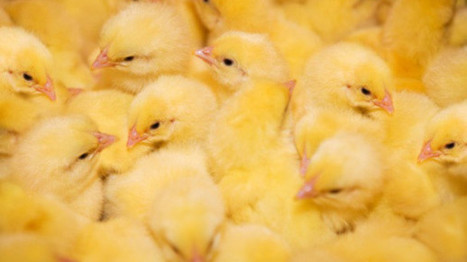 Ecuador latest to impose nationwide ban on US poultry due to bird flu | Virology News | Scoop.it