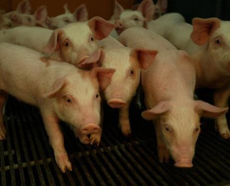 Loueuse : premier recours juridique contre la ferme aux 3 000 porcs | Mes News A La Une | Scoop.it