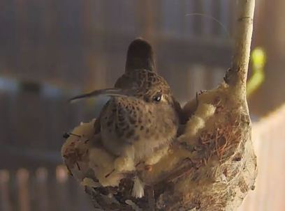 UA web cam features hummingbird | KOLD (TV-Channel 13 Tucson) | CALS in the News | Scoop.it