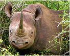 Irish Trafficker of Rhino Horns Pleads Guilty | What's Happening to Africa's Rhino? | Scoop.it