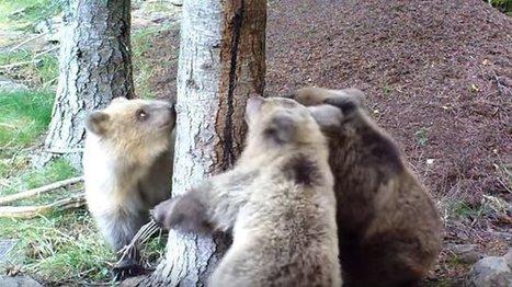 Api'ours : les partisans de l'ours invitent les Aspétois à planter des arbres fruitiers | Biodiversité | Scoop.it