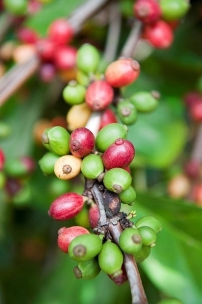 For Tanzania's coffee farmers, climate change is a buzzkill | Al Jazeera | CGIAR Climate in the News | Scoop.it