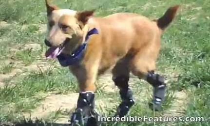 Dog Fitted with Four Prosthetic Paws (video) | Care2 Healthy & Green Living | Hope | Scoop.it
