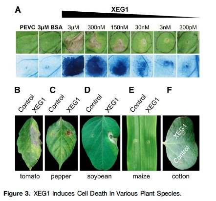 A Phytophthora sojae Glycoside Hydrolase 12 Protein Is a Major Virulence Factor during Soybean Infection and Is Recognized as a PAMP   lignocellulosic biomass   Scoop.it