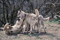 Position de l'AFSAB sur la dominance | Dog Behavior | Scoop.it