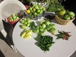 How to Ripen Green Tomatoes to Use in Recipes   Annie Haven   Haven Brand   Scoop.it
