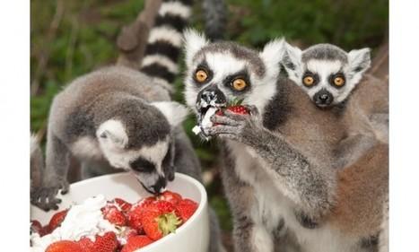 Lemurs Eating Strawberries and Cream West Midland Safari Park - Video | Ring Tailed Lemurs | Scoop.it