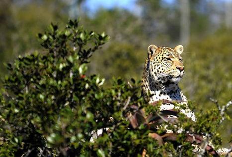 L'Afrique du Sud ne délivrera pas de permis de chasse au léopard en2016 | Biodiversité & Relations Homme - Nature - Environnement : Un Scoop.it du Muséum de Toulouse | Scoop.it