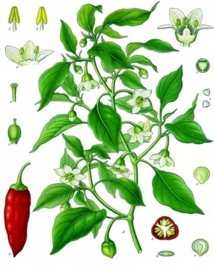 Chile peppers are for thebirds! | Agricultural Biodiversity | Scoop.it