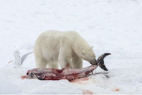 Polar bear eats dolphins in Norway's Arctic | Toronto Star | For reading | Scoop.it