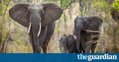 African wildlife officials appalled as EU opposes a total ban on ivory trade | Pachyderm Magazine | Scoop.it