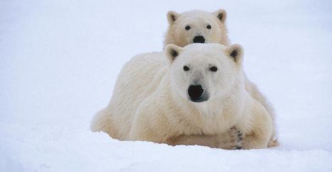 Polar Bears will soon be extinct - Sadly, we humans must shoulder the blame | GarryRogers Biosphere News | Scoop.it