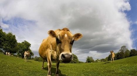 Pets de vache: Une arme anti-méthane très efficace à l'étude | Planete DDurable | Scoop.it
