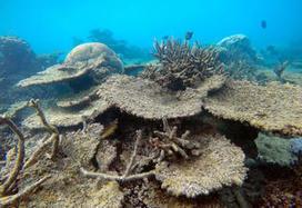 Environnement. Les coraux de la Grande Barrière subissent la pire hécatombe jamais observée | Biodiversité & Relations Homme - Nature - Environnement : Un Scoop.it du Muséum de Toulouse | Scoop.it