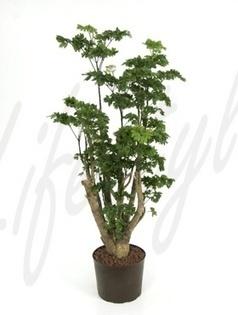 l'Aralia Roble pour les bureaux bien ensoleillés | La Location de plantes | Scoop.it