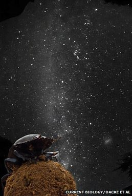 Dung beetles guided by Milky Way | Gavagai | Scoop.it