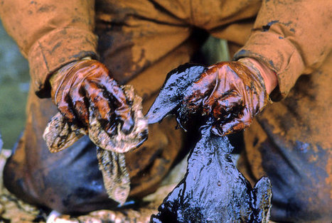 WASHINGTON: 25 years later, Exxon Valdez oil spill still clings to lives, habitats | Environment | McClatchy DC | Upsetment | Scoop.it