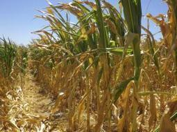 South Africa to boost warning systems as drought cuts maize harvest | Maize | Scoop.it