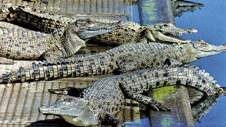 A Crocodile's Bumpy Road From Farm to Handbag - Businessweek | keyRetail Weekly | Scoop.it
