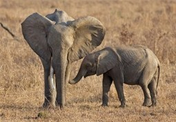 Africa's Elephants Facing Extinction, says Jane Goodall | Nature Animals humankind | Scoop.it