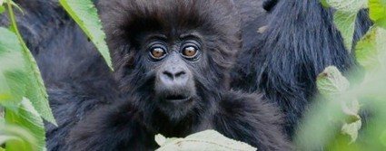 Craghoppers and the Dian Fossey Gorilla Fund - HOPE Video | Walking | Scoop.it