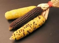 OGM : quelle suite à l'étude Séralini pour l'Anses ? - Natura Sciences | Actus Bien-être - Santé | Scoop.it