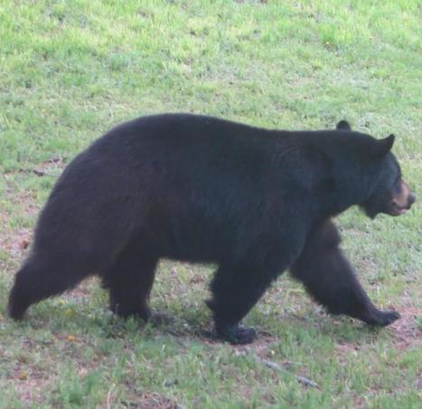 Colorado bear with munchies breaks into pie shop, eats all pies but one | Natural Fears | Scoop.it