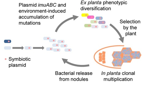 PLOS Biology: Transient Hypermutagenesis Accelerates the Evolution of Legume Endosymbionts following Horizontal Gene Transfer (2014) | Plants and Microbes | Scoop.it