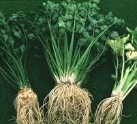 Manfaat seledri sebagai obat herbal | Aneka Resep | Cara Diet Sehat | Tanaman Obat | Scoop.it