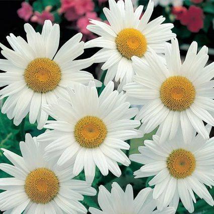 Alaska Shasta Daisy, Shasta Daisy | Springhill Nursery | Scoop.it