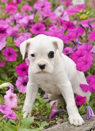 Free Classified Sites for Ad Posting | Bulldog puppies available and ready to go now | Scoop.it
