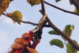 Taille des arbres fruitiers (pommier, poirier, cerisier...) (Fiches conseils) | Le jardin de Cali | Scoop.it