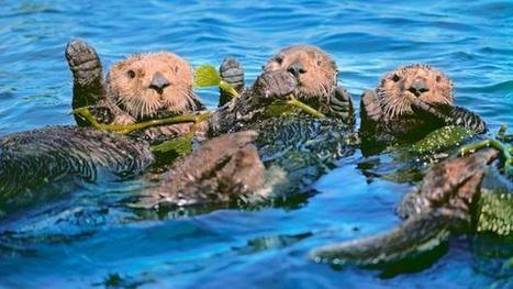 Sea otters: Saving kelp forests and our climate | In Deep Water | Scoop.it