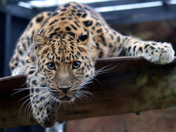 Success: Conservation Efforts Made to Save Critically Endangered Leopard | GarryRogers Biosphere News | Scoop.it