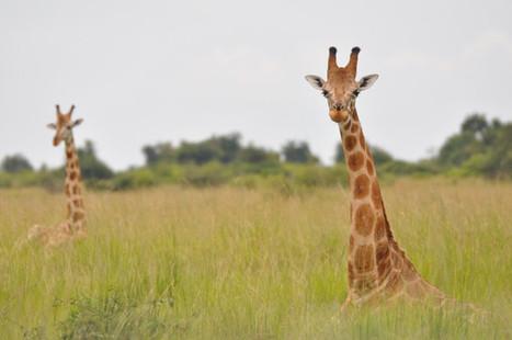 La jirafa africana se convierte en especie amenazada | ECO-DIARIO-ALTERNATIVO | Scoop.it