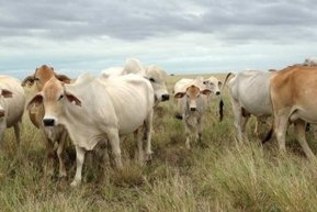 Could we breed cattle to graze more widely? - ABC Local | Rangeland Scoops | Scoop.it