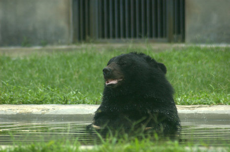 Bear Trapped In Tiny Cage Is More Than Ready To Chill In Pool | Nature Animals humankind | Scoop.it